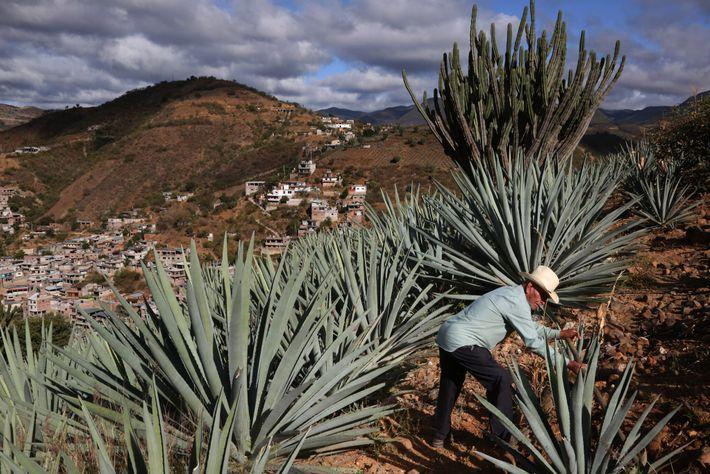 Toribio Hernandez caminha por seus campos de agave em Oaxaca, no México. Os agricultores colhem a ...