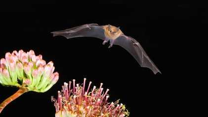 Destilado mezcal está cada vez mais popular — e isso é prejudicial para os morcegos