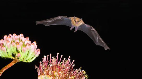 O morcego-de-nariz-comprido-menor, importante polinizador de ecossistemas desérticos, é uma das três espécies de morcegos da América ...