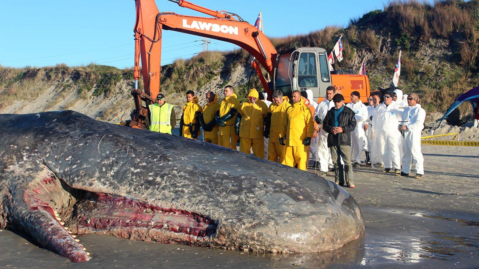 Esquartejamento de baleia na Nova Zelândia