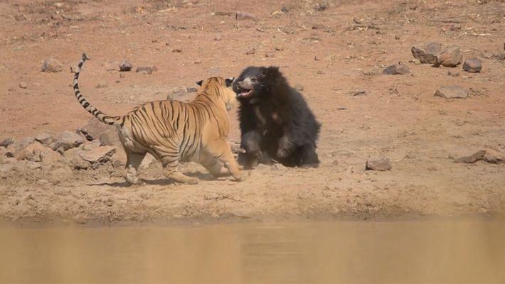 Mãe urso enfrenta tigre para proteger filhote
