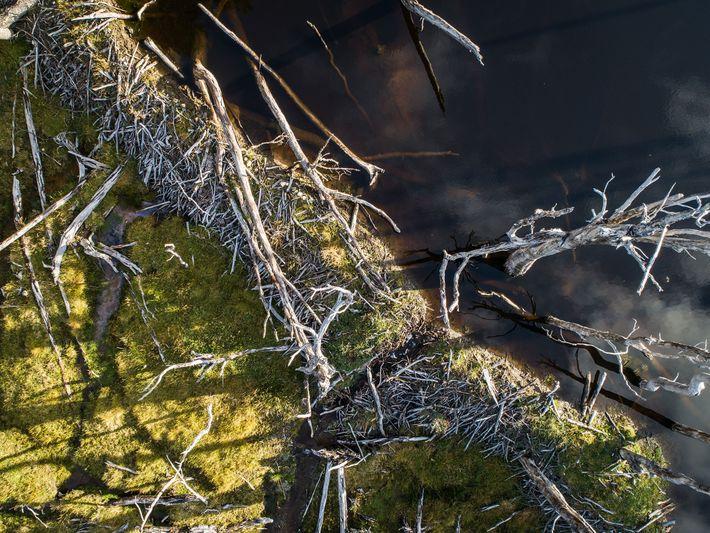 Vista aérea de uma represa construída por castores no rio Lasifashaj. Essas represas são tão grandes ...