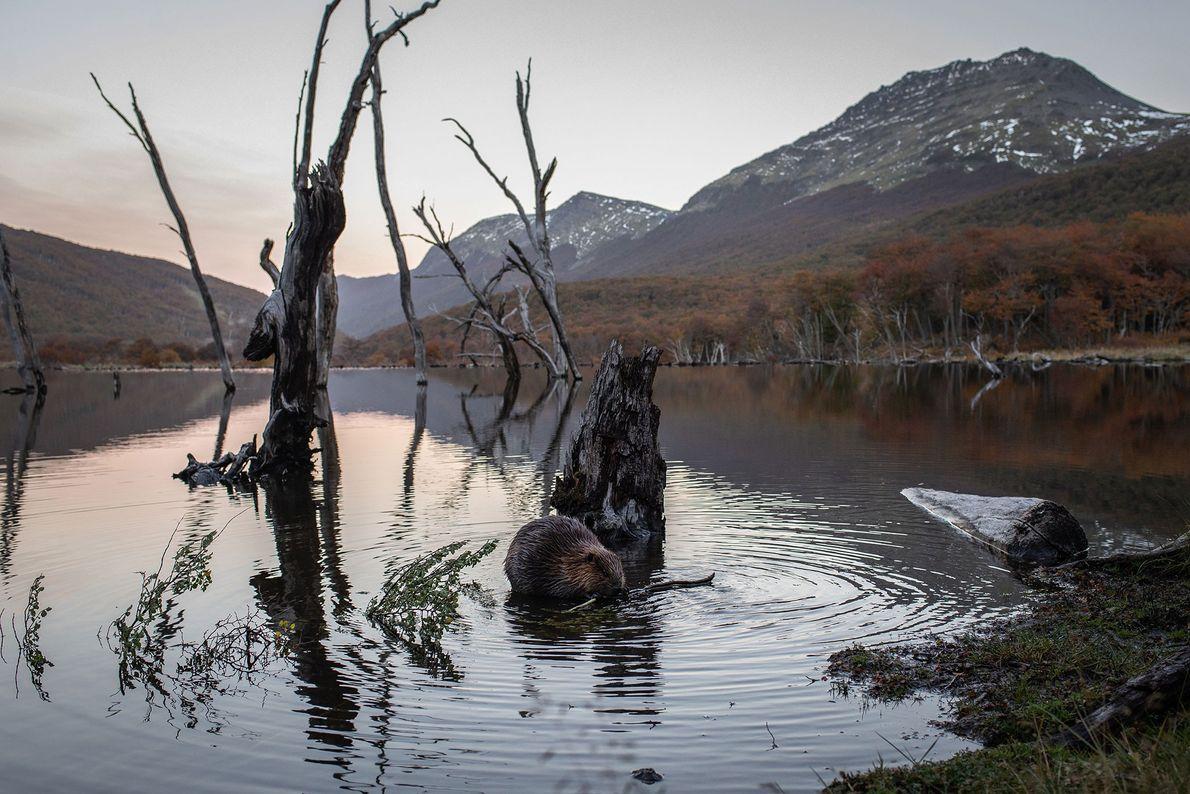 Durante um pôr do sol em Tierra del Fuego, na Argentina, um castor mastiga um galho ...
