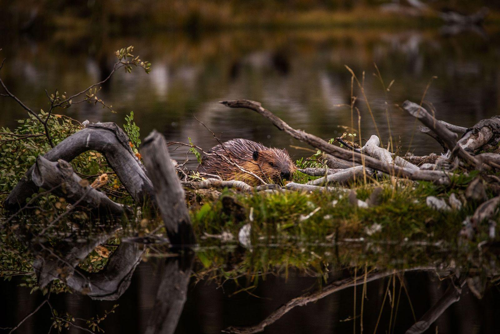 Um castor constrói uma represa próximo a Ushuaia, a maior cidade de Tierra del Fuego. As ...