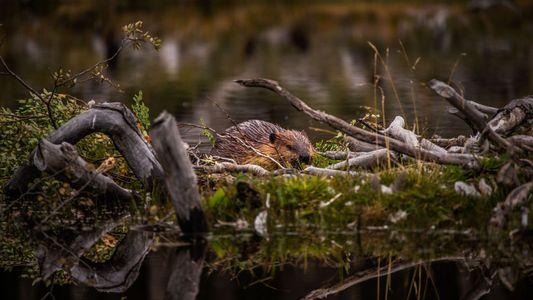 Argentina introduziu castores na Tierra del Fuego, mas não foi uma boa ideia