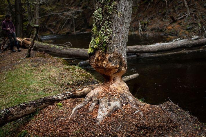 Os castores derrubam árvores para se alimentarem de suas folhas e criam ninhos a partir de ...