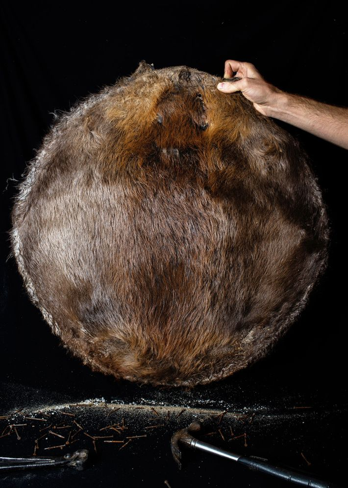 Um caçador local de castores segura uma pele que foi salgada, seca e presa a um ...