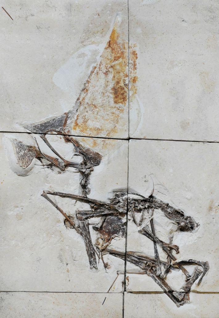 Incrustado em blocos de pedra calcária, o fóssil recém-estudado é o primeiro esqueleto completo de uma ...