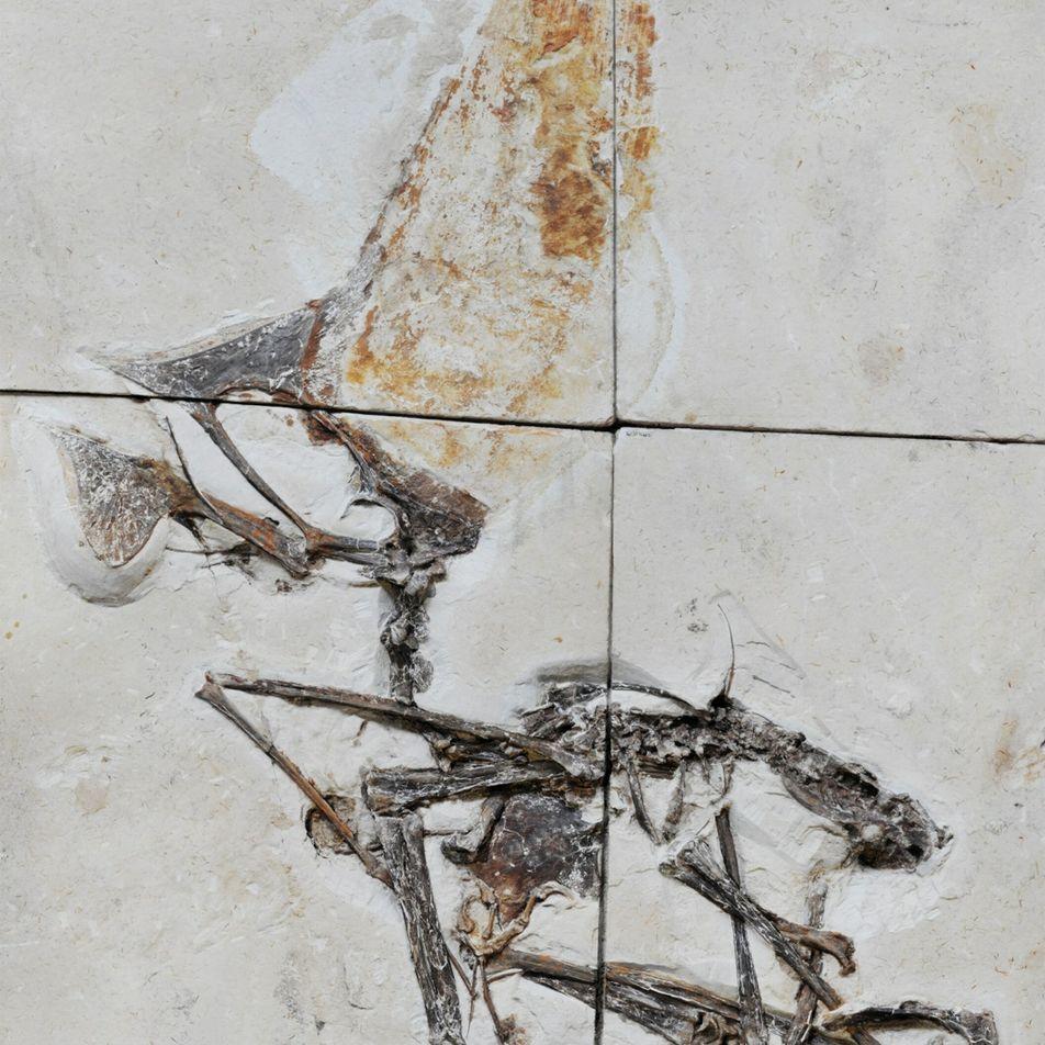 Fóssil perfeito recuperado pela Polícia Federal revela segredos de réptil voador pré-histórico