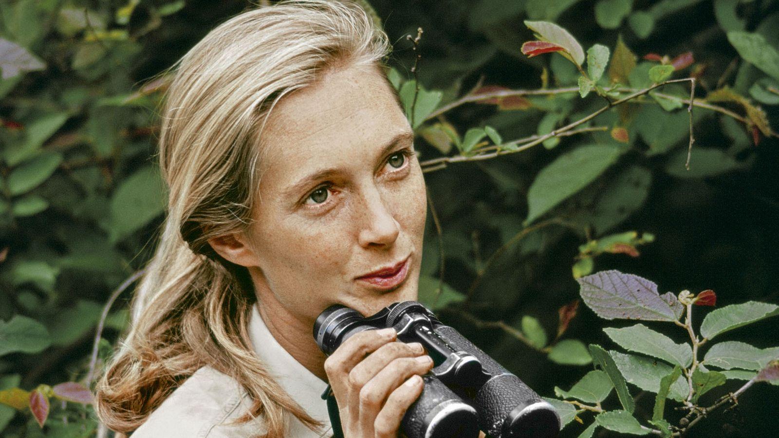 As primeiras descobertas da jovem primatóloga chamaram a atenção da National Geographic. Jane Goodall não gostava de ...