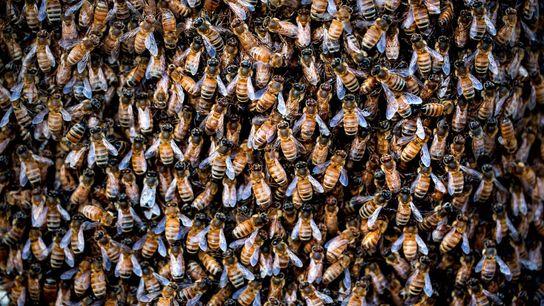 Abelhas melíferas no exterior de uma colmeia. A agricultura nos Estados Unidos está quase 50 vezes ...
