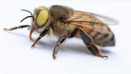 Rara abelha mutante possui traços masculinos e femininos