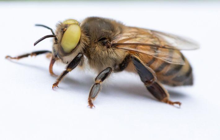 A abelha de olhos amarelos tem o que é chamado de ginandromorfismo, no qual características de ...