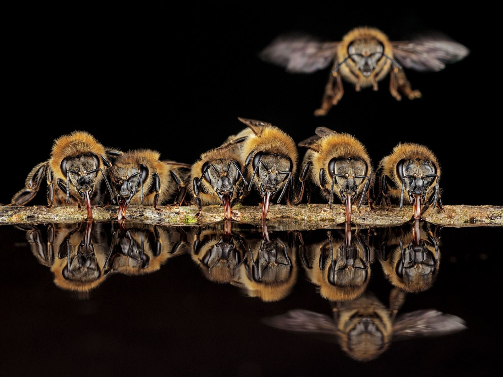 Com línguas tubulares, as abelhas-europeias em Langen, Alemanha, sugam a água para transportá-la à colmeia. A ...