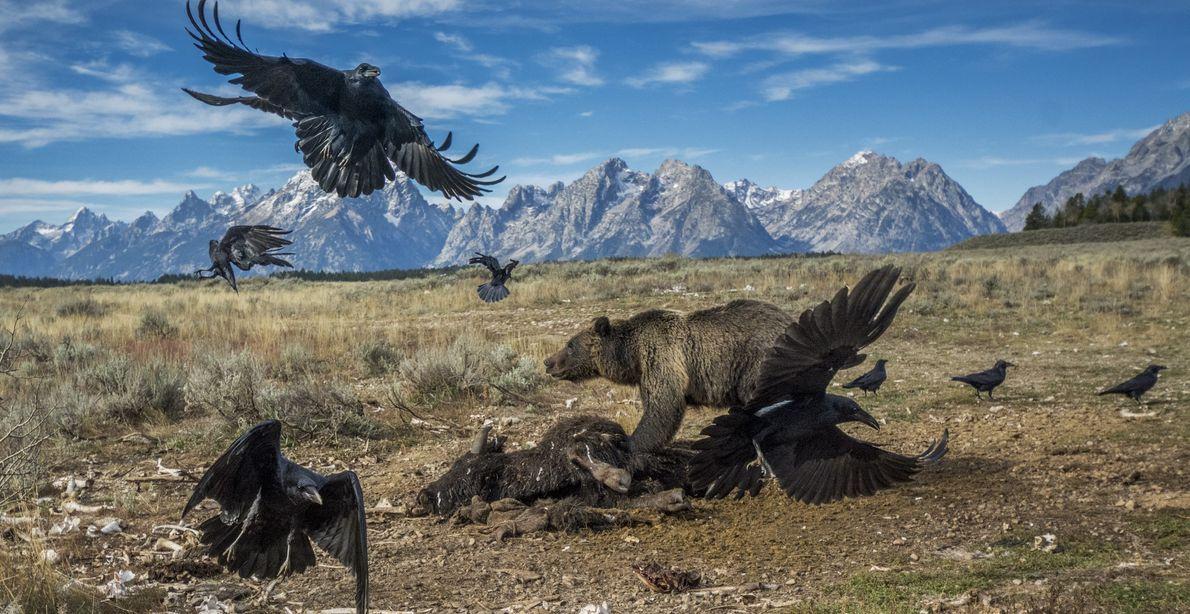 GRAND TETON NATIONAL PARK, WYOMING, ESTADOS UNIDOS Enviado para Wyoming em 2014, o fotógrafo britânico Charlie Hamilton ...