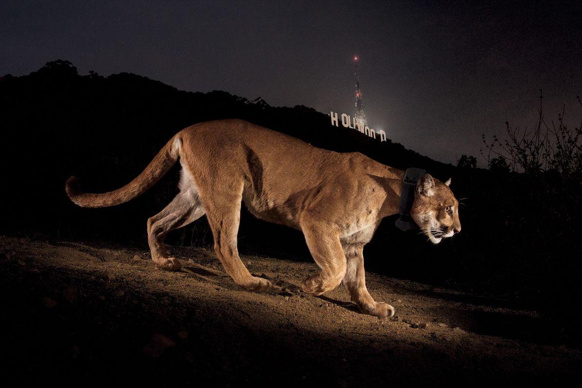 HOLLYWOOD, CALIFÓRNIA, ESTADOS UNIDOS O nome dele era P22, e o fotógrafo Steve Winter tinha ouvido falar ...