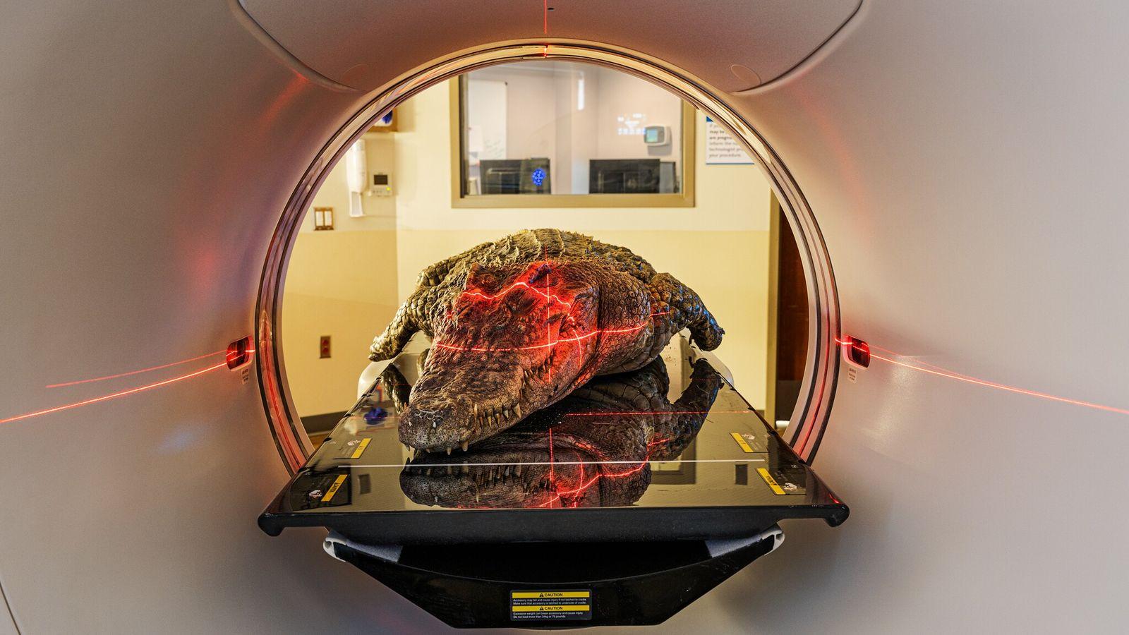 Por mais de duas décadas, Lawrence Witmer, paleontólogo da Universidade de Ohio, realizou tomografias em carcaças ...