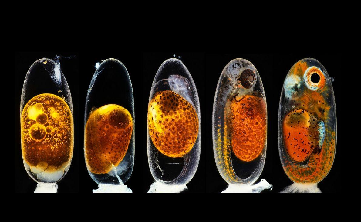 O fotógrafo Daniel Knop fez uma composição com cinco imagens de um embrião de peixe-palhaço para ...