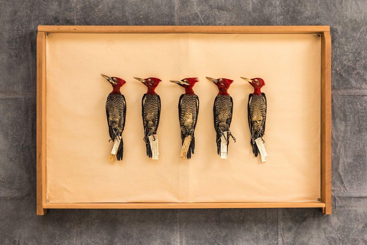 Cinco pica-paus-reis (Campephilus robustus) em uma gaveta do acervo do Museu Argentino de Ciências Naturais em Buenos Aires. ...