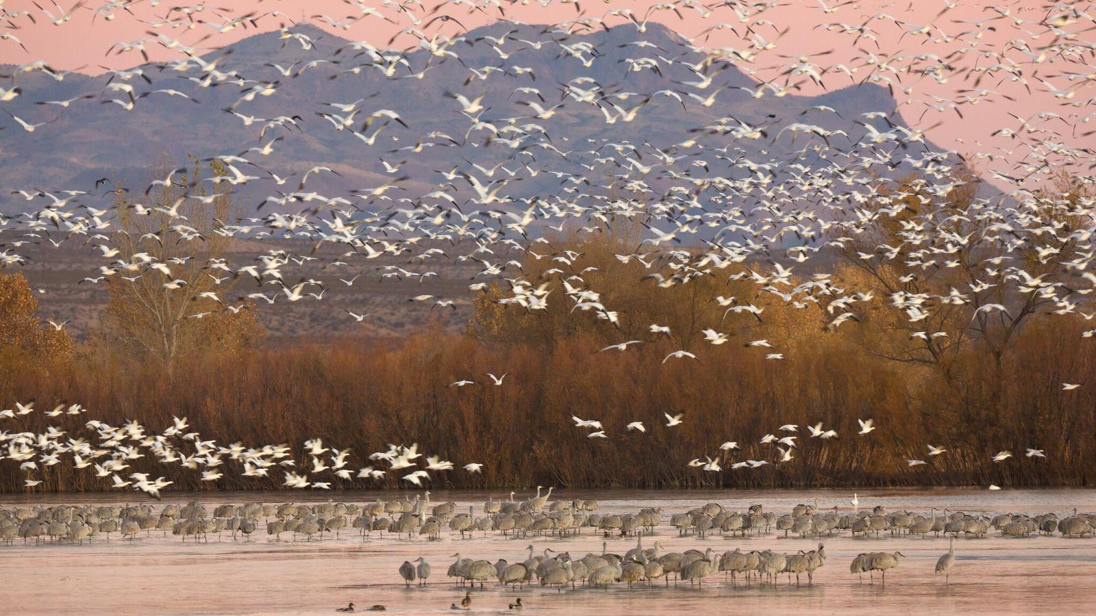 Aves migratórias, como os gansos-das-neves da foto, tiveram proteção reduzida sob o governo Trump. A expectativa ...