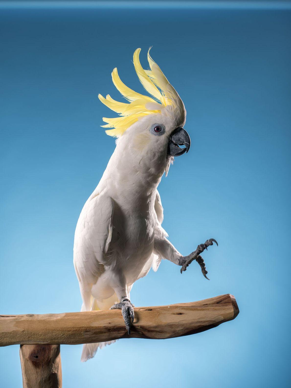 Snowball, uma cacatua-de-crista-amarela, impressionou seus fãs no YouTube, além de neurocientistas, ao dançar ao ritmo da ...