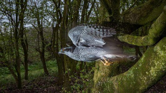 Como fotografar um gavião açor em pleno voo