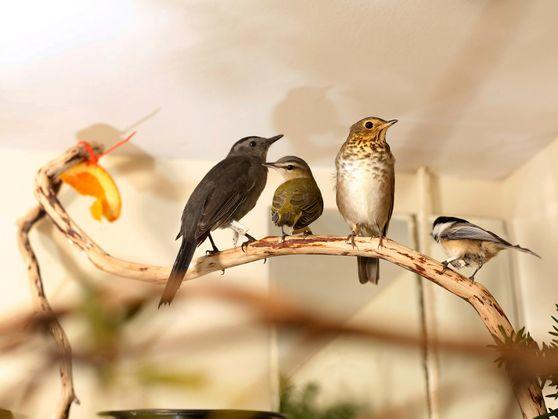 Pássaros estão se chocando contra os edifícios da cidade de Nova York em número recorde