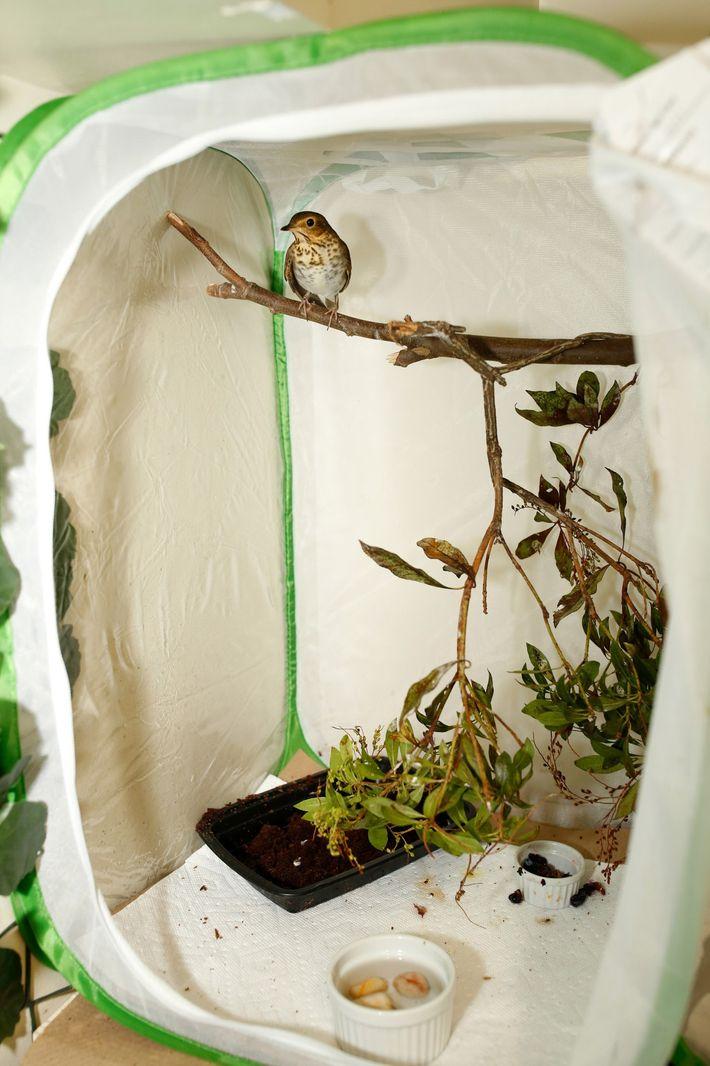 O sabiá-de-óculos descansa em um galho dentro de um cesto macio —abrigo temporário para as aves ...