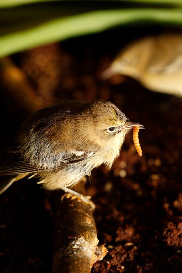 Pássaro da espécie Setophaga pinus se alimenta de uma larva de bicho-da-farinha na sala de preparação ...