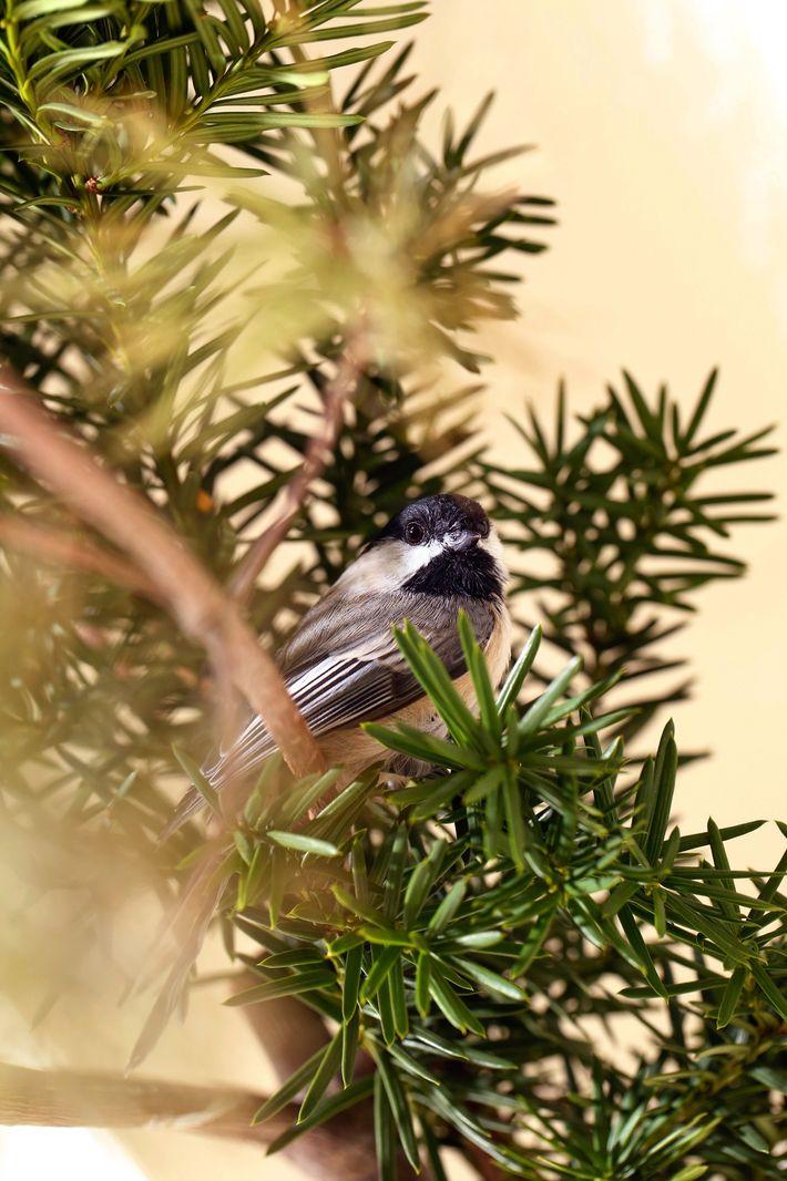 """Um chapim-de-cabeça-negra se esconde em um galho na """"sala de preparação para soltura"""" do Wild Bird ..."""