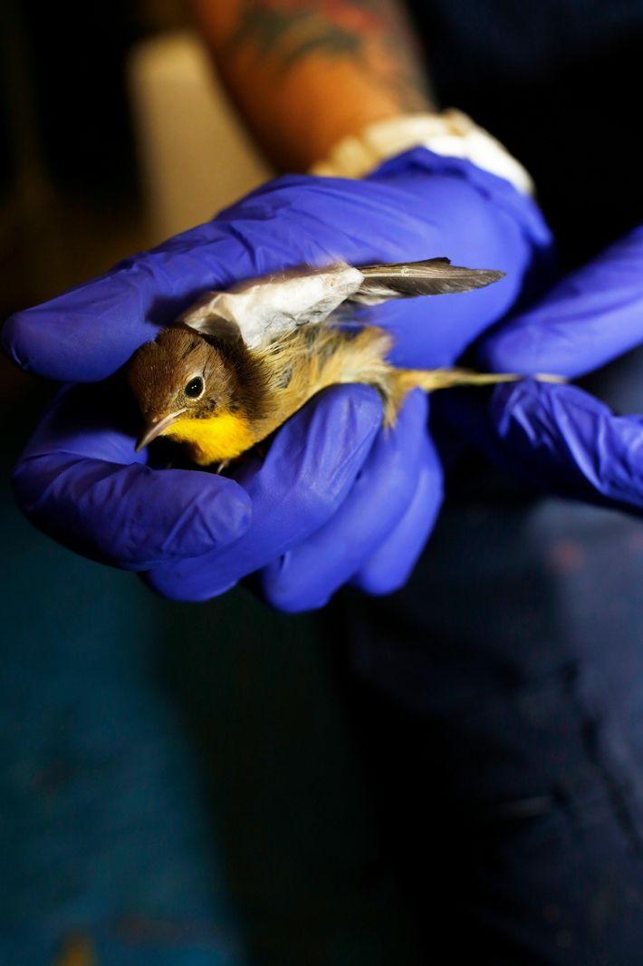 Tristan Higginbotham, reabilitador de aves silvestres do Wild Bird Fund, cuida de uma mariquita-de-mascarilha ferida. Estima-se ...