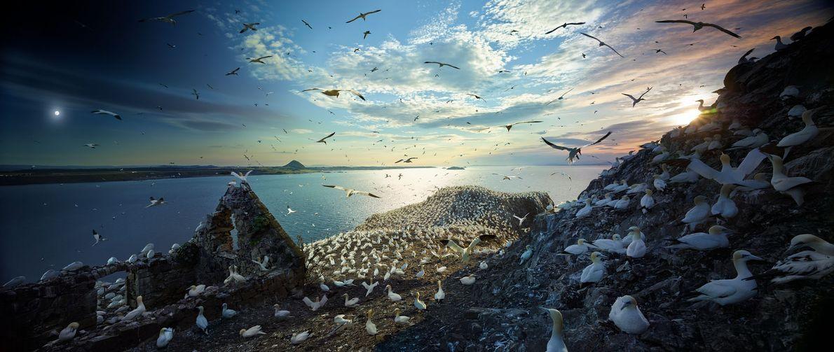Durante a temporada de acasalamento, 150 mil atobás lotam a Ilha de Bass Rock, na Escócia, ...