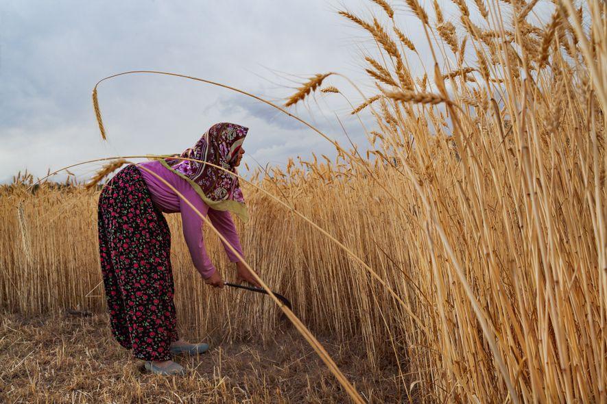 Uma mulher faz a colheita manual do trigo perto de Konya, na Turquia. Lavradores da região ...