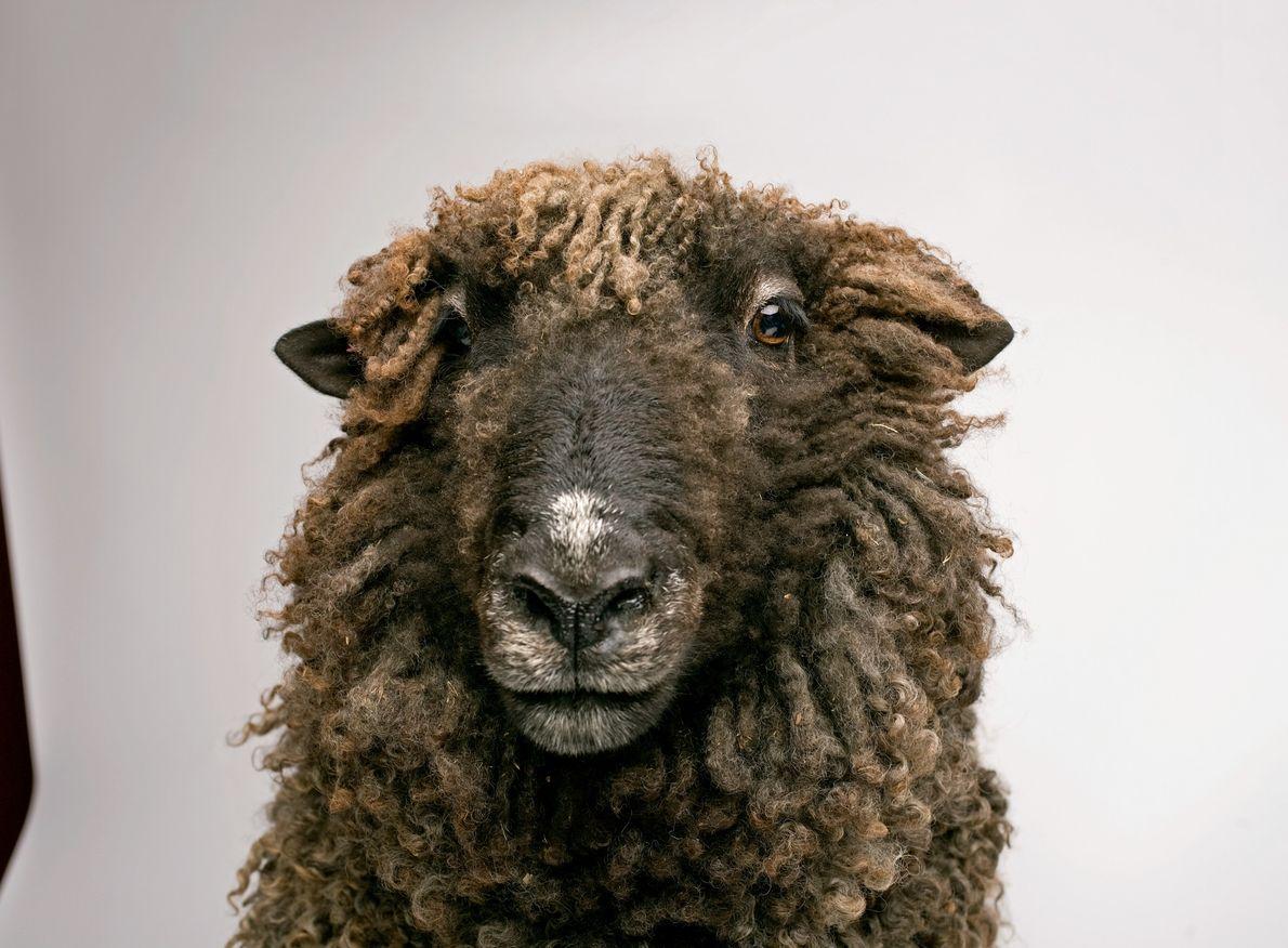 Estudos mostraram que ovelhas são hábeis em reconhecer umas às outras e se lembrarem dos rostos ...