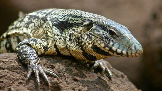 Nativos da América do Sul, lagartos teiús invadem sudeste dos EUA