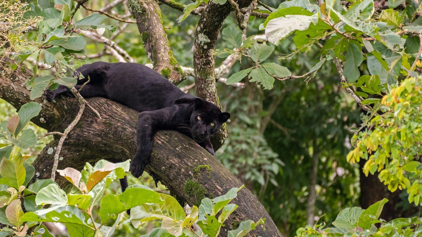 Um leopardo-negro selvagem descansa sob uma árvore no Parque Nacional Nagarhole, na Índia. Um homem foi ...