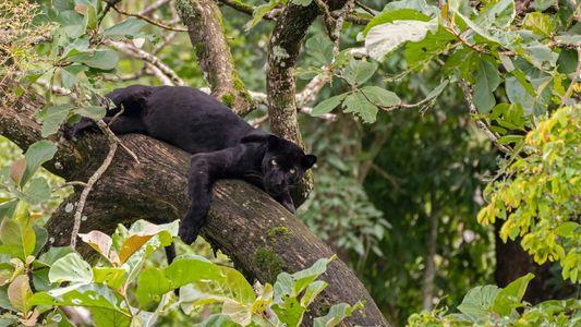 Ataque de leopardo nos EUA coloca humanos — e grandes felinos — em situação complicada