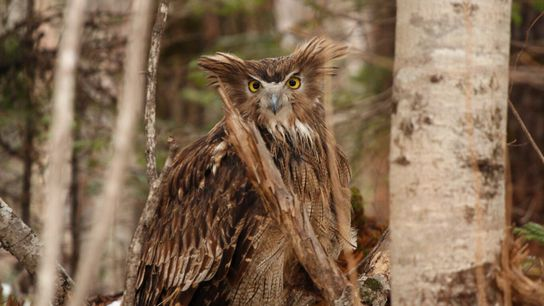 Uma fêmea de coruja-pescadora-de-blakiston, alerta e com orelhas erguidas, prepara-se para levantar voo em março de ...