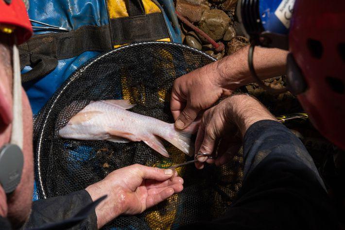 Os pesquisadores extraíram um pequeno segmento de uma das barbatanas do peixe para análise de DNA ...