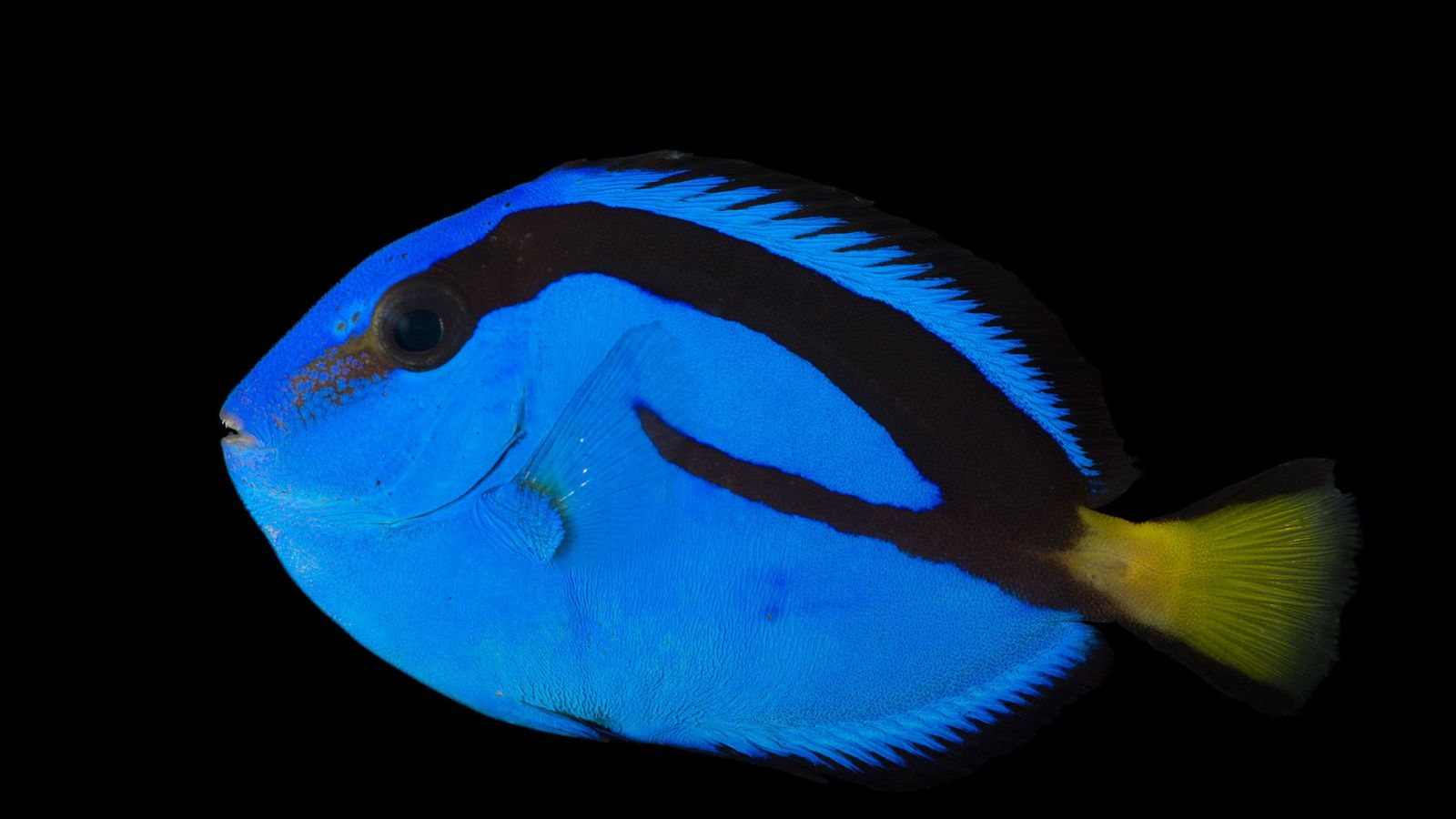 Atualmente, todos os cirurgiões-patela em aquários, como este, foram capturados na natureza.