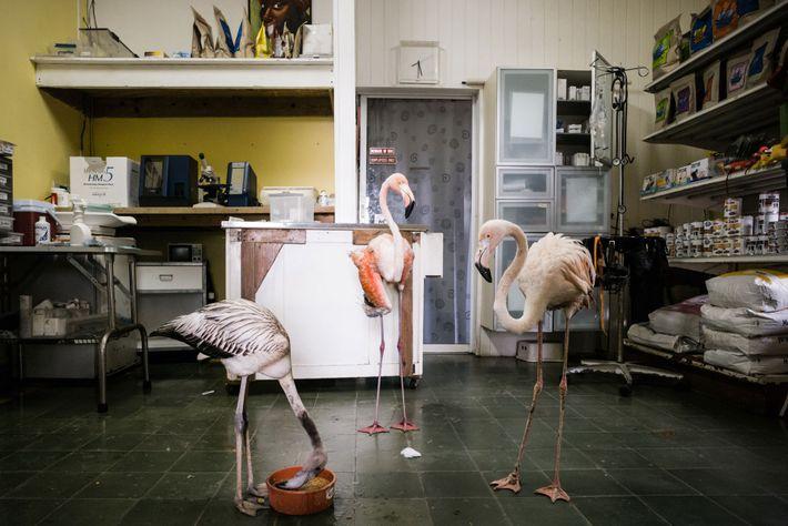 Bob (à direita) passa o tempo com dois flamingos resgatados na sala de tratamento de Odette. ...