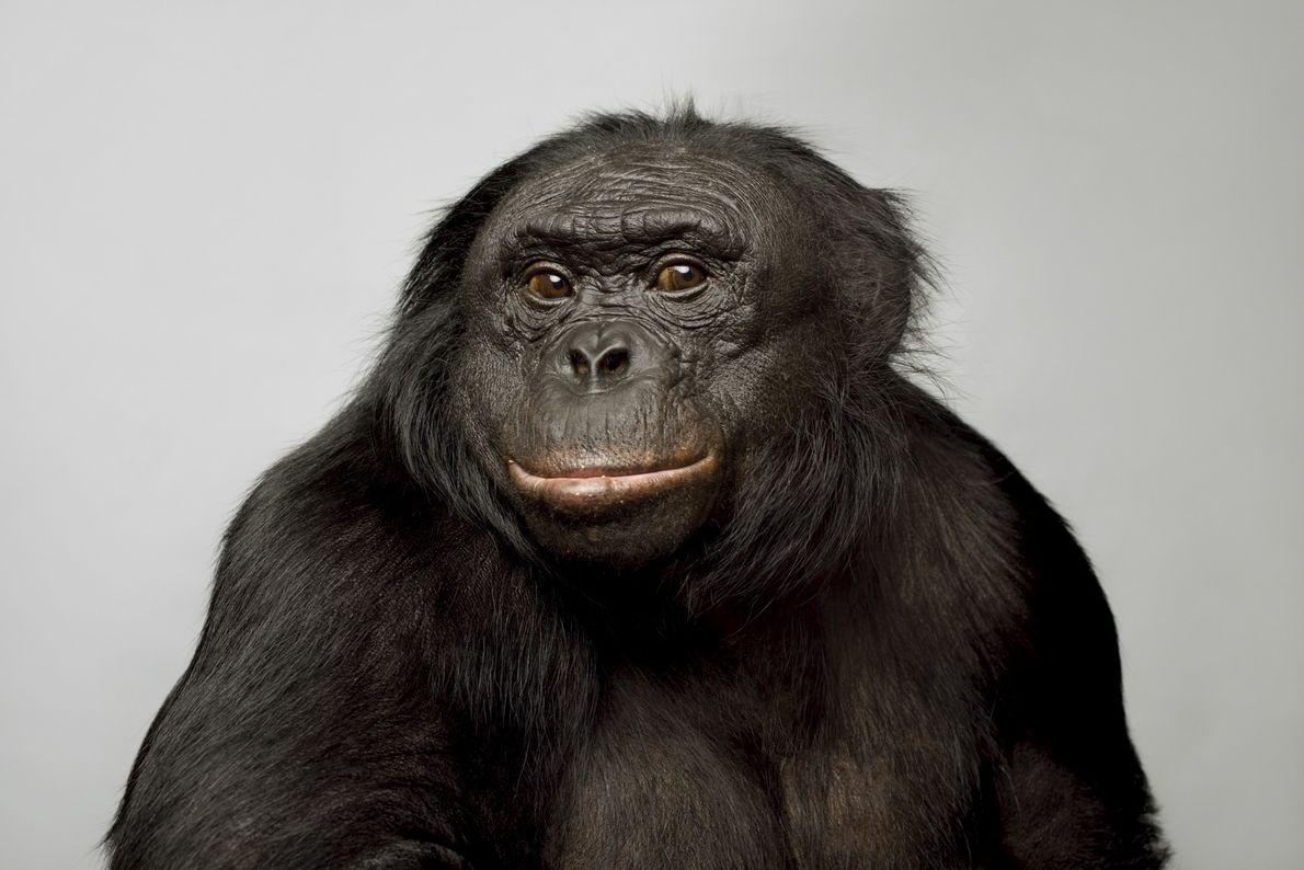 Kanzi, um bonobo de 39 anos, tornou-se conhecido por suas habilidades linguísticas. Ele consegue se comunicar ...