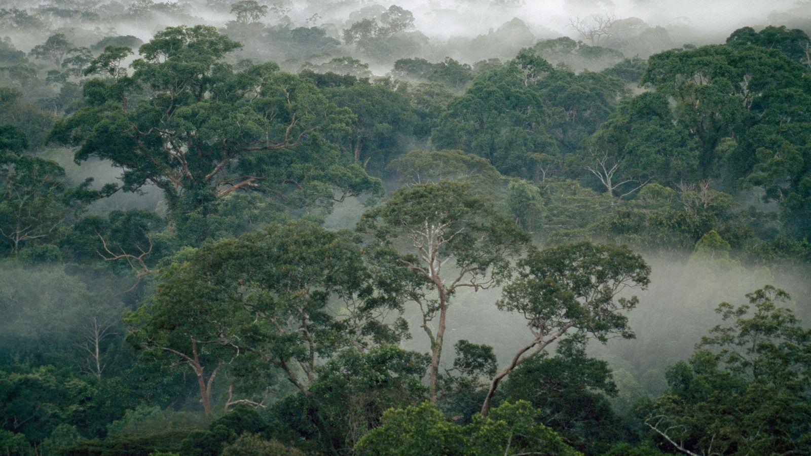 Árvores em meio à neblina da floresta equatorial no Parque Nacional de Gunung Palung, na Ilha ...