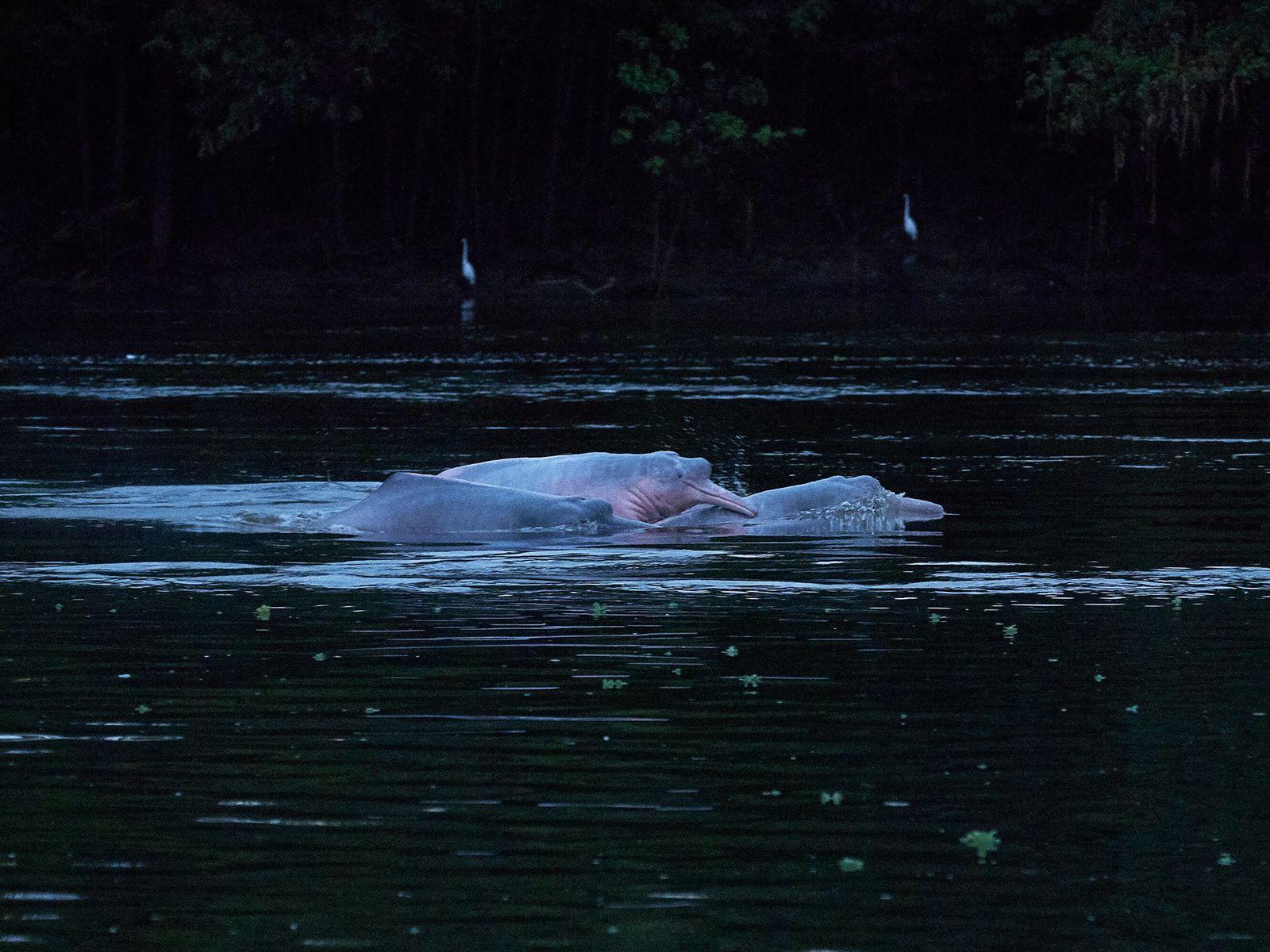 Botos-cor-de-rosa sobem à superfície na reserva de desenvolvimento sustentável Mamirauá, no Amazonas. Os botos são comuns ...
