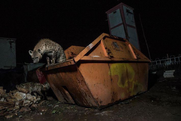 hienas-lixao-conteiner-caçamba-de-entulho