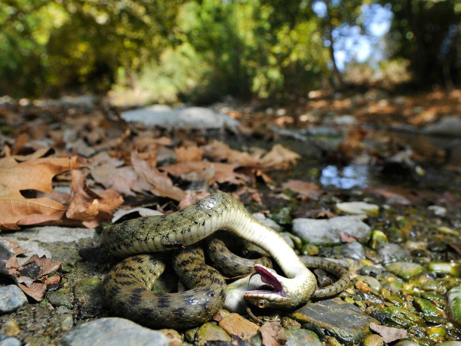 Muitos animais simulam a própria morte — e não apenas para evitar serem devorados