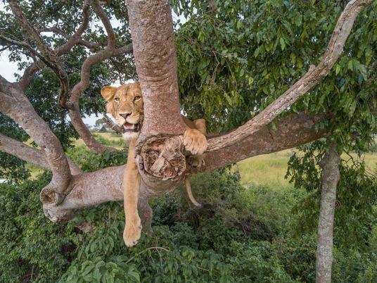 Este leão de três patas é um símbolo de esperança