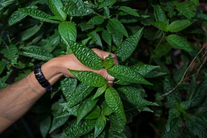 Xamã da etnia dessana recolhe folhas de uma planta medicinal na periferia de Manaus, capital do ...
