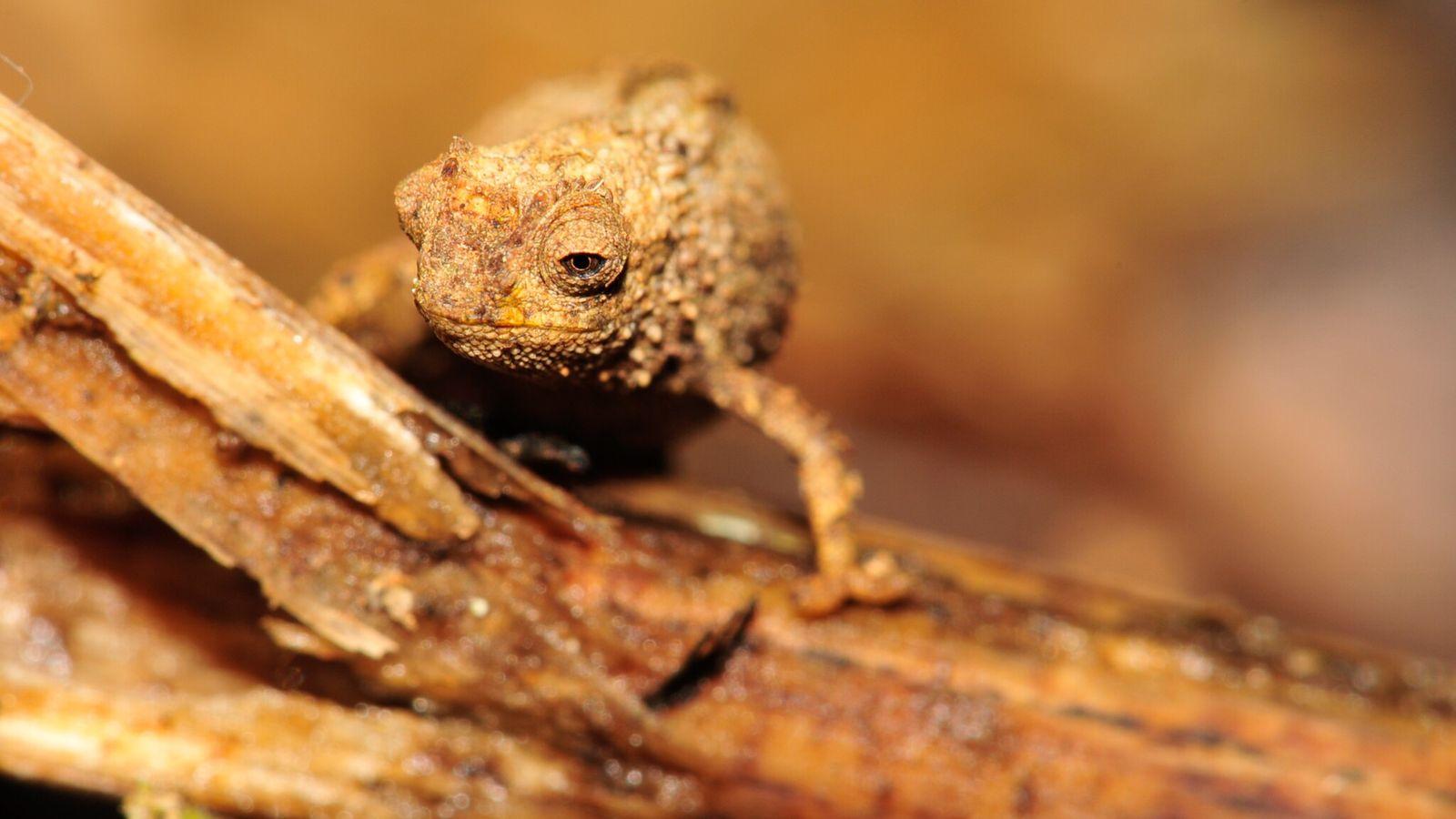 Camaleão fêmea da espécie Brookesia nana em Madagascar, provavelmente o menor réptil do planeta.