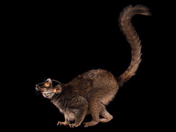 Lêmure da espécie Eulemur fulvus (quase ameaçado) – Houve uma queda de um quarto nas populações ...